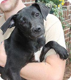 08/20/14 sl ~Prattville, AL - Labrador Retriever Mix. Meet Polly 20757, a puppy for adoption. http://www.adoptapet.com/pet/11155565-prattville-alabama-labrador-retriever-mix