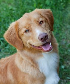 Nova Scotia Duck Tolling Retriever - I officially found the perfect breed!!