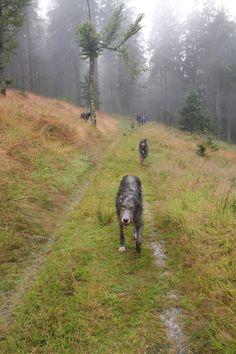 Photo: Elias the Wolfhound