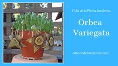 Orbea Variegata - Fichas de Plantas Suculentas Euphorbia Milii, Echeveria, Cactus Y Suculentas, Cacti And Succulents, Patio, Outdoor, Homesteads, Garden, World