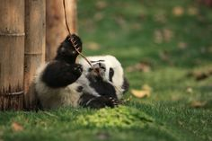 Creche Para Pandas Existe E É O Lugar Mais Adorável Na Terra