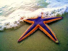 Royal starfish (Astropecten articulatus): This vividly colored species is found along the east coast of North America, primarily in the southeast. While it can live at depths of up to 700 feet, it mostly hangs out at around 70-100 feet deep where it dines on mollusks. Unlike many other species of starfish, the royal starfish eats its prey whole.