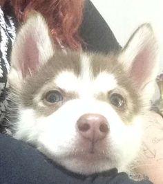 Husky Puppies For Sale, Siberian Husky Puppies, Husky Puppy, Tamworth, Alaskan Malamute, Adorable Animals, Fur Babies, Dog Breeds, Female