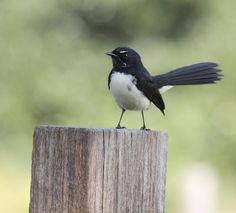 Has anyone ever noticed that you don't see Willie Wagtails anymore they disappeared! Haven't seen any at all around? - Yes, they're about but not as prolific as I recall either. Beautiful Birds, Animals Beautiful, Animals And Pets, Cute Animals, Baby Animals, Australian Birds, Australian Tattoo, Nature Tattoos, Small Birds