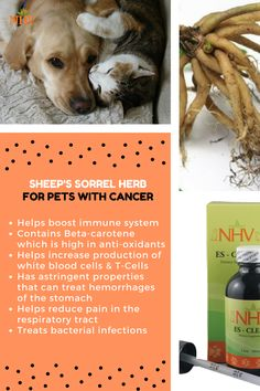 Sheep's Sorrel herb for pets with cancer - can be found in NHV ES Clear, a herbal remedy for cats and dogs fighting cancer. It has numerous benefits and can help reduce the number of cancerous cells in their body.