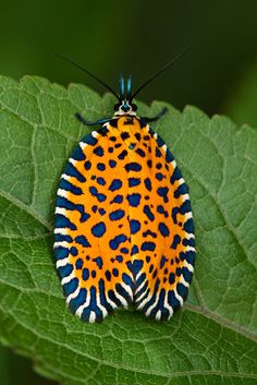 Amazing leaf roller moth.