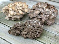 Maitake (Grifola frondosa) Also known as Hen of the Woods, Rams Head, Sheep's Head, Cloud Mushroom, Dancing Mushroom