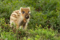 Wild Boar Piglet Hennie van Heerden (shot in the Netherlands?)