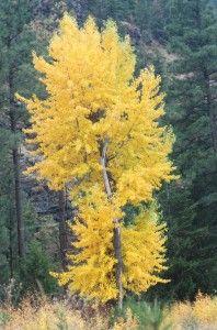 Salicaceae: Black Cottonwood (Populus trichocarpa)  Host plant for:  Catocala briseis, Catocala relicta, Nycteola cinereana, Homoglaea dives, Brachylomia thula, Leucoma salicis