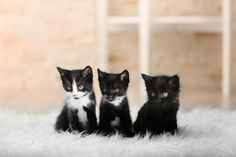 Cats can be trained with food treats, as these three Tuxedo kittens have still to find out