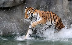 Water Princess by *StealthScope.For my Tiger...