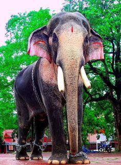 Thechikottukavu Ramachandran hd photos | Kerala Elephants ...
