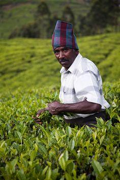 Tea picker, India