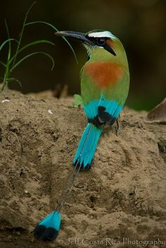 Motmot à sourcils bleus - Turquoise Browed Motmot(Eumomota superciliosa) The beauty of the birds