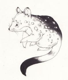 Quoll Drawing | Sarah McNeil
