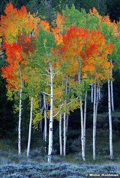 ~~Rainbow aspens, Autumn, Utah by Willie Holdman~~