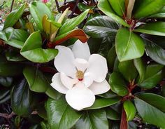 Teddy Bear Magnolia - A very compact, upright grower whose shiny, deep green leaves have a heavy reddish-brown felt beneath. Large 6 to 8 inch fragrant white flowers dot the plant throughout the warm months. A superb small specimen or accent in the landscape. Evergreen.  Ht: 20 x 12'