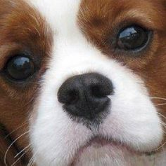 """Cavalier King Charles Spaniel❤ I""""M A BIT OBSESSED WITH THEIR PHOTOS DUE TO BEING A CAV OWNER. BEST DOGS EVER!"""