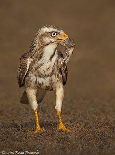 White-eyed Buzzard (Butastur teesa) - a medium-size hawk and not a true buzzard.