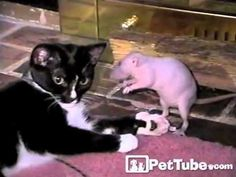 Cat wrestles with rat