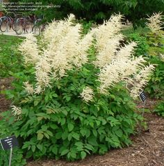 Aruncus dioicus, Partial Shade, H3-6', W3-6', Early Spring to Summer, White plumes