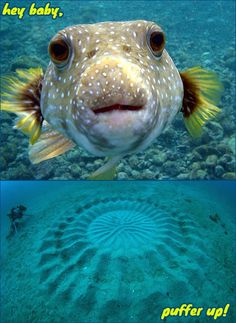 Scuba diver Yoji Ookata started encountering mysterious 'underwater crop circles' in the semi-tropical region of Amami Oshima. He was determined to find the unknown artist of the elegant 6.5 ft wide masterpieces!    Underwater cameras finally revealed the pesce Picasso-a tiny puffer fish sculpting a love nest to attract a mate. The ridges attract the lady puffers and the two canoodle and lay their eggs in the center of the circle.