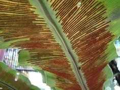 Parte abaxial (inferior) da folha de uma pteridófita, evidenciando os soros repletos de esporângios com esporos. Essa fase da planta é denominada de esporófito e, diferentemente das briófitas, corresponde à fase duradoura do ciclo de vida. Eliane Jacinto.