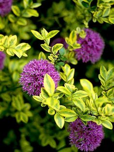 Employ Variegated Foliage-Plants with chartreuse foliage make a big bang on their own -- but become an absolute work of art when paired with purple or blue, as seen with this variegated boxwood and allium