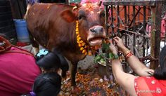 The Cow festival: Day three of Tihar in Nepal