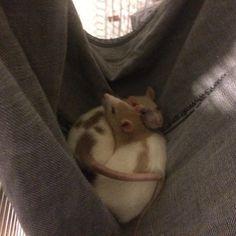 My lil babies sleeping in their homemade hammock. #aww #cute #rat #cuterats #ratsofpinterest #cuddle #fluffy #animals #pets #bestfriend #ittssofluffy #boopthesnoot