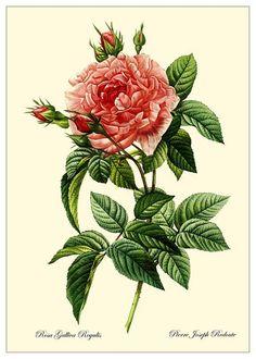 1003 Rosa Gallica Regalis    This carefully restored botanical is by the famous Flemish painter Pierre Joseph Redouté (1759-1840)