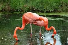flamingo images only - Saferbrowser Yahoo Image Search Results