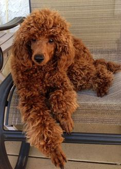 Red Poodle at 9 months...I WANT A RED STANDARD POODLE!! #Poodle