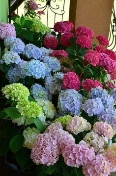 Multiple colored hydrangeas. Beautiful!!!