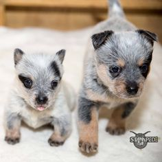 Australian Cattle Dog | Blue Heeler | Puppy | Dogs