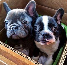 #frenchbulldogs