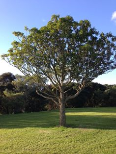 New Zealand. A young Puriri tree. This tree is unusual in that it produces flowers and seeds all year round. See Board for lots more NZ trees.