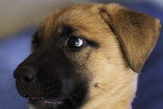 How Much Do German Shepherd Puppies Cost? Most Popular Dog Breeds, Buy Pets, Pet Life, Animal Shelter, Cute Puppies, Labrador Retriever, Czech German Shepherd, Expressive, Labrador Retrievers