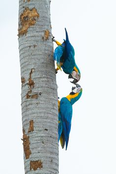 Blue and yellow macaws by Pavel Blažek on 500px