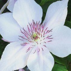 Neuzugang im Garten #clematis #pinkfantasy #gartenliebe #gartenfreuden #gartenabc #cottagegarden #garden #gardening