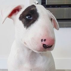 Uplifting So You Want A American Pit Bull Terrier Ideas. Fabulous So You Want A American Pit Bull Terrier Ideas. Mini Bull Terriers, Miniature Bull Terrier, Bull Terrier Dog, Baby Animals, Cute Animals, Education Canine, Akita, English Bull Terriers, Best Dog Breeds