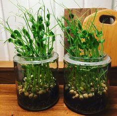 Growing Gardens, Growing Plants, Indoor Garden, Garden Plants, Inside Garden, Healthy Recepies, Happy Flowers, Green Garden, Hydroponics
