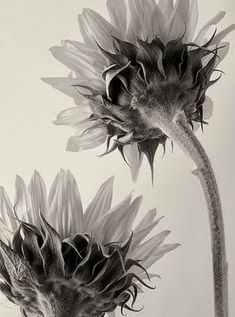 Untitled (sunflowers) by German botanical fine art photographer Karl Blossfeldt via universo paralelo Karl Blossfeldt, Natural Form Artists, Natural Forms, Still Life Photography, Fine Art Photography, Nature Photography, Image Photography, Photography Flowers, Botanical Art