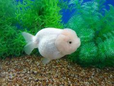 white ranchu goldfish ...