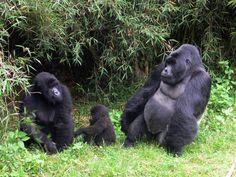 gorillas | Virunga National Parks Mountain Gorillas Threatened as Fighting ...