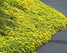 This Fast Growing Groundcover Is Great For Sunny Slopes