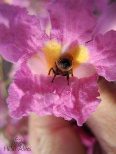 Abelha em flor de ipê  Ass Bee