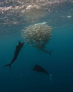 Sailfish Hunt • Snorkeling • Sardines • Contoy Island • Playa del Carmen • Speed Boat Trip • Lunch