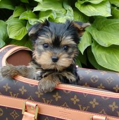 own a purse puppy <3