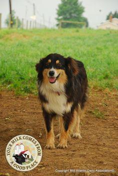Farm Dog Love - Who doesnt love a farm dog? These faithful pets are a wonderful part of farm life. English Shepherd, Australian Shepherds, Pet Dogs, Pets, Doggies, Farm Dogs, Farm Photo, Herding Dogs, Service Dogs